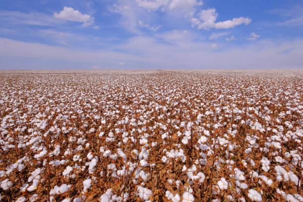 Cotton field ready for harvesting in Campo Verde, Mato Grosso, Brazil stock photo