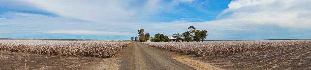 cotton fields ready for harvesting in australia - cotton growing bildbanksfoton och bilder