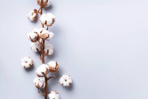 bomulls blomma gren på grå bakgrund med kopierings utrymme. topp-vy. platt låg. blommor komposition. mysig vinter och ekologiskt livsstils koncept. banner - cotton growing bildbanksfoton och bilder