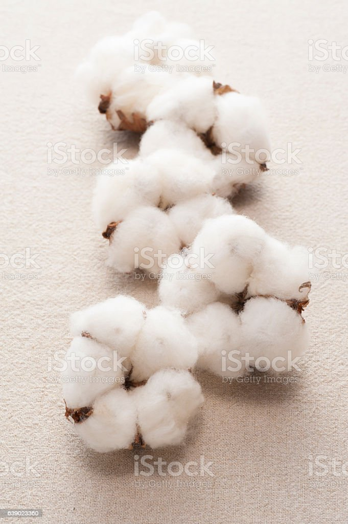 cotton flower on cloth background stock photo