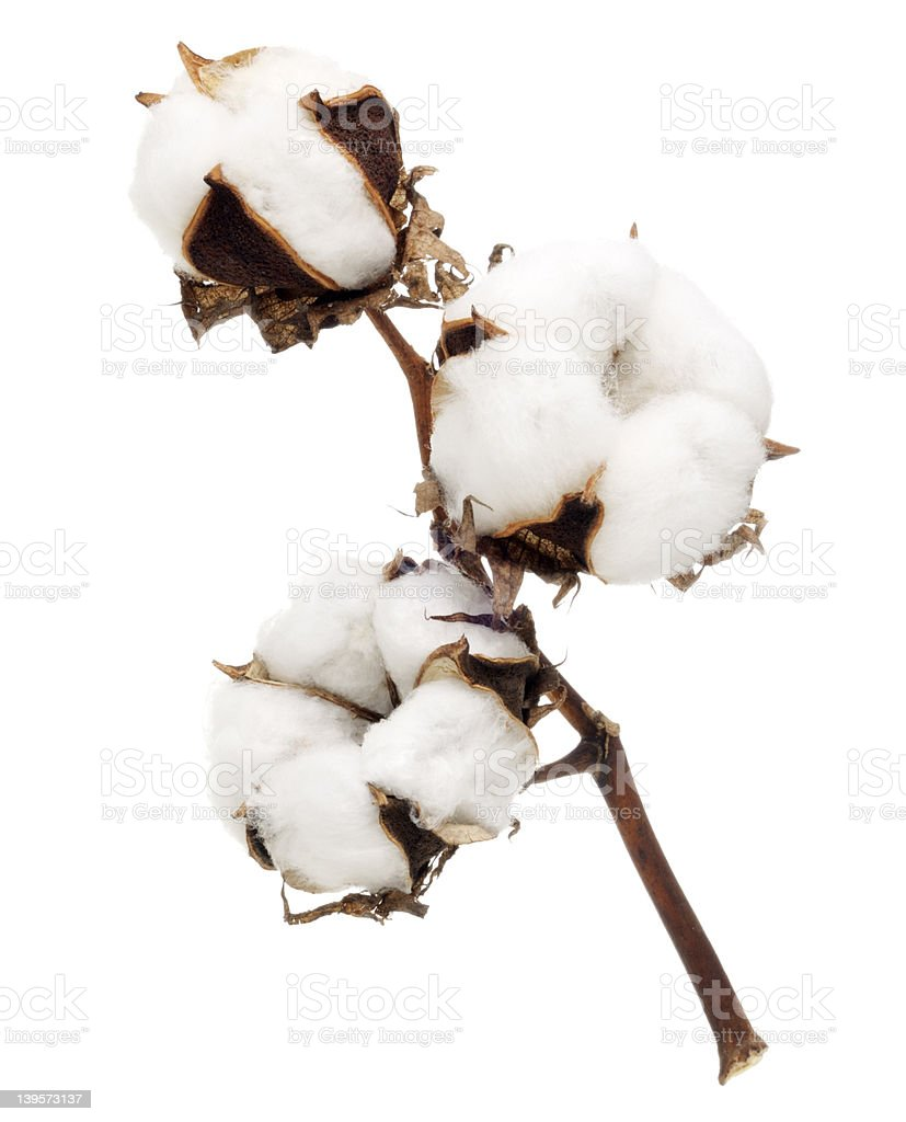 Cotton flower stock photo