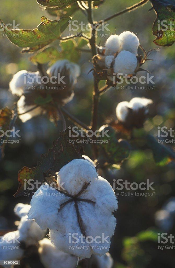 Cotton flower royalty-free stock photo