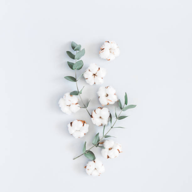 Cotton flowers and eucalyptus branches. Flat lay, top view, square Flowers composition. Pattern made of cotton flowers and eucalyptus branches on pastel blue background. Flat lay, top view, square cotton stock pictures, royalty-free photos & images