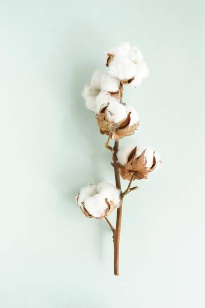 棉花枝在藍色背景頂視圖。海報。柔和顏色背景 - 棉 個照片及圖片檔