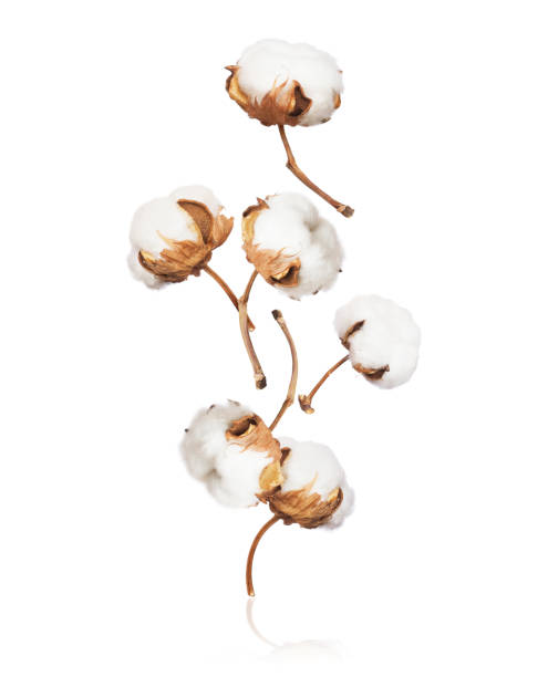 Cotton flowers fall down close up on white background Cotton flowers fall down close up on white background cotton stock pictures, royalty-free photos & images