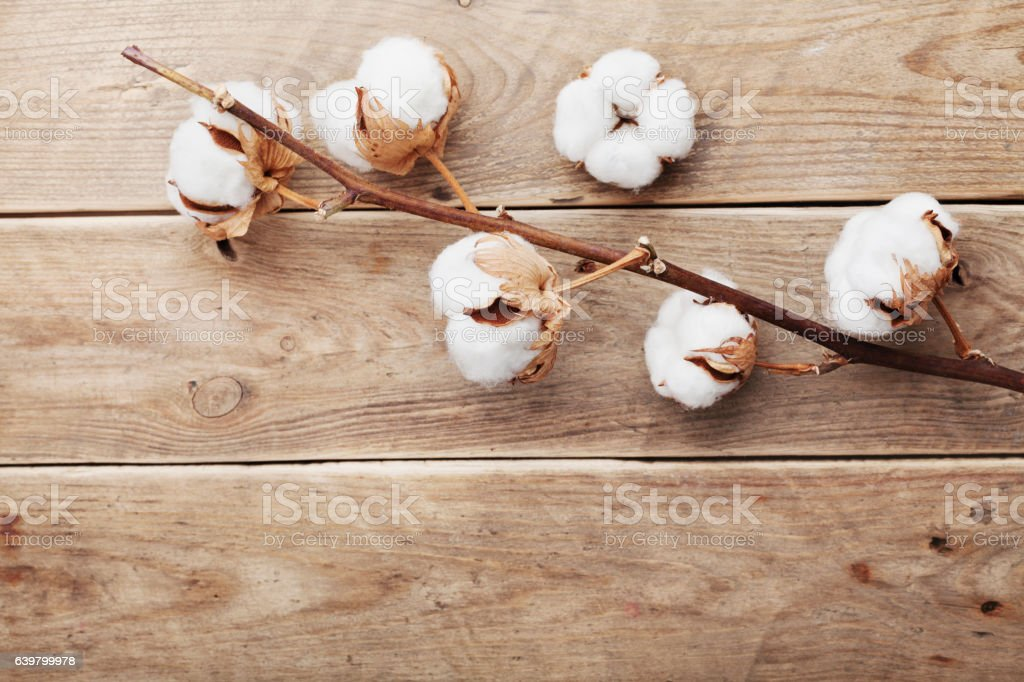Cotton flowers on rustic wooden table from above, flat lay. stock photo