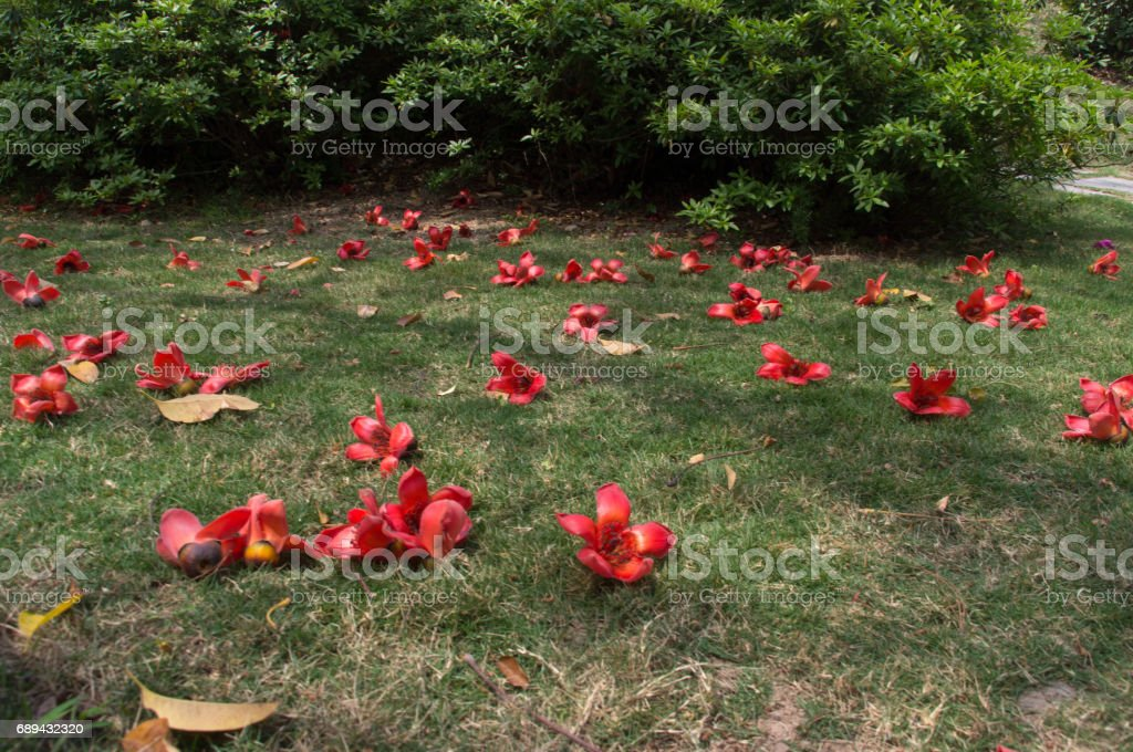 Cotton flowers on the ground stock photo