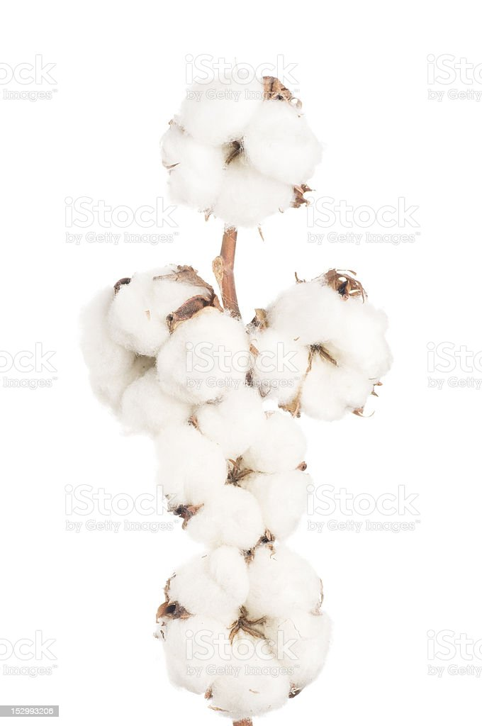 Cotton flowers stock photo