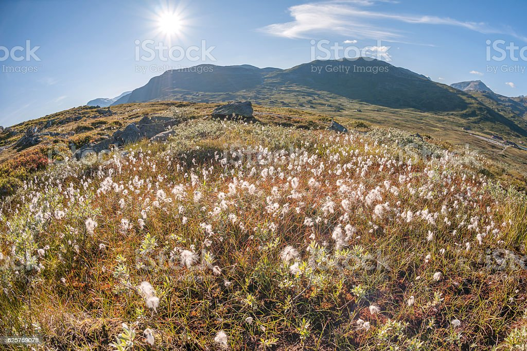 Cotton grass and mountains in Jotunheimen National Park in Norway stock photo