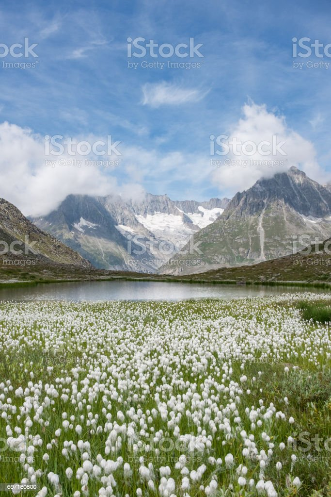 Cotton grass and Swiss Alps near the famous Aletsch Glacier, stock photo