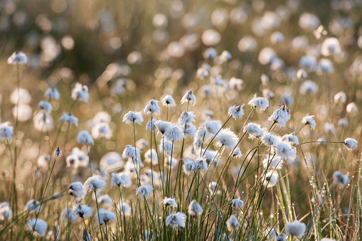 Cotton grass at sunlight