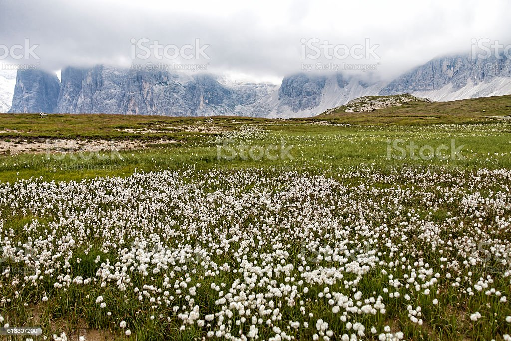 Cotton grass (genus Eriophorum) stock photo