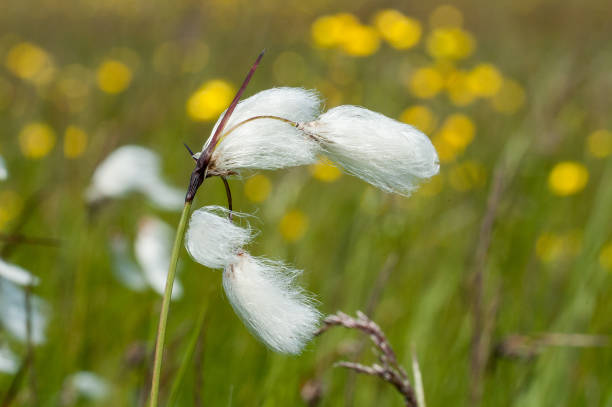 Cotton grass stock photo