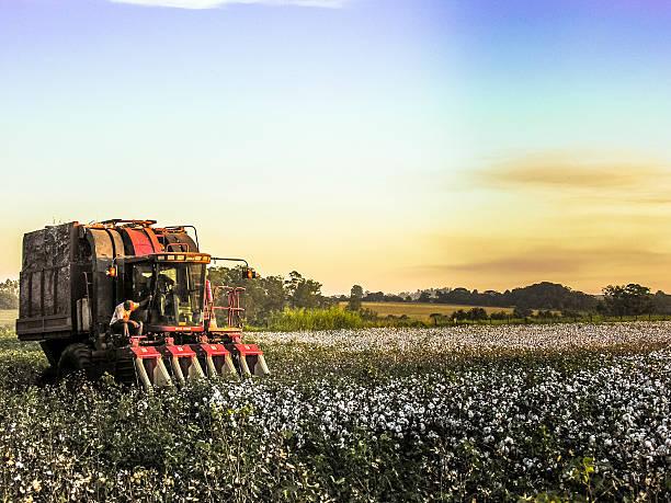 Cotton Harvest stock photo