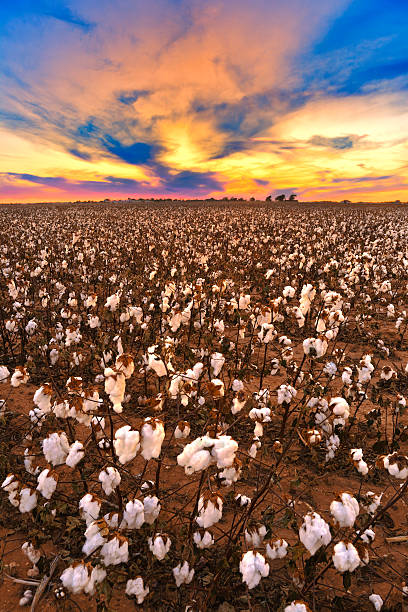 cotton in field at sunset ready for harvest - cotton growing bildbanksfoton och bilder