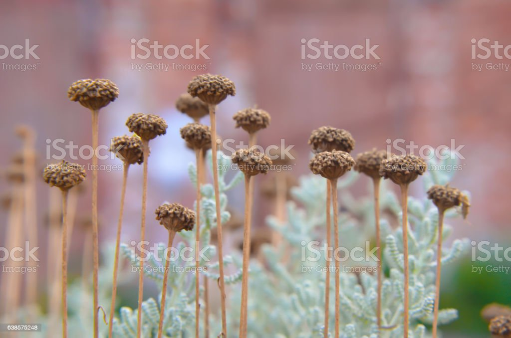 Cotton lavender Santolina chamaecyparissus plant background stock photo