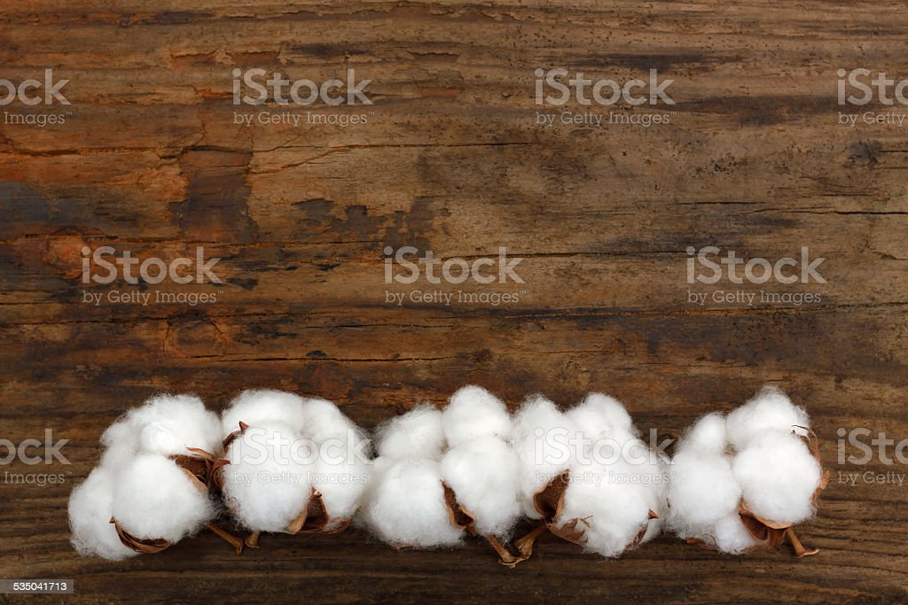 cotton organic plant ripe buds  wooden background stock photo