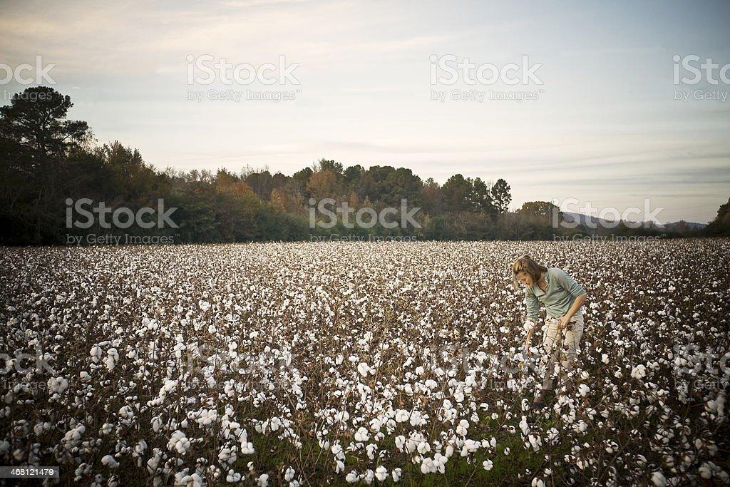 Cotton Picking stock photo