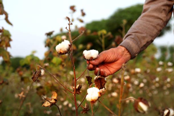 bomull plocka - cotton growing bildbanksfoton och bilder