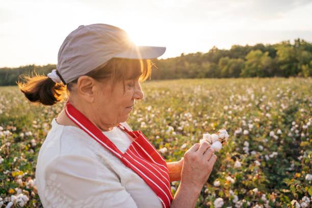 bomulls plockning säsong. aktiv senior kvinna som arbetar i det blommande bomulls fältet. två kvinnliga agronomer utvärderar grödan innan skörden, under ett gyllene solnedgångs ljus. - cotton growing bildbanksfoton och bilder