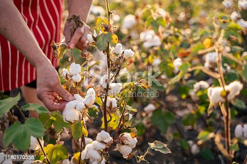 Quality control of the cotton plant crop. Confident woman specialist analyzing the quality of the plants.