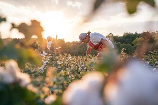 Cotton picking season. CU of Active senior working in the blooming cotton field. Two women agronomists evaluate the crop before harvest, under a golden sunset light. Quality control of the cotton plant crop. Confident woman specialist analyzing the quality of the plants. cotton stock pictures, royalty-free photos & images