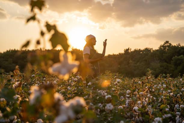 bomulls plockning säsong. blommande bomull fältet, ung kvinna utvärderar gröda före skörd, under en gyllene solnedgång ljus. - cotton growing bildbanksfoton och bilder