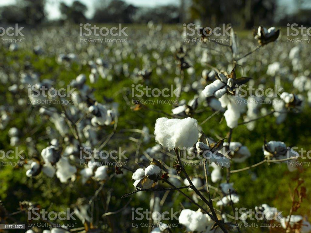 Cotton royalty-free stock photo