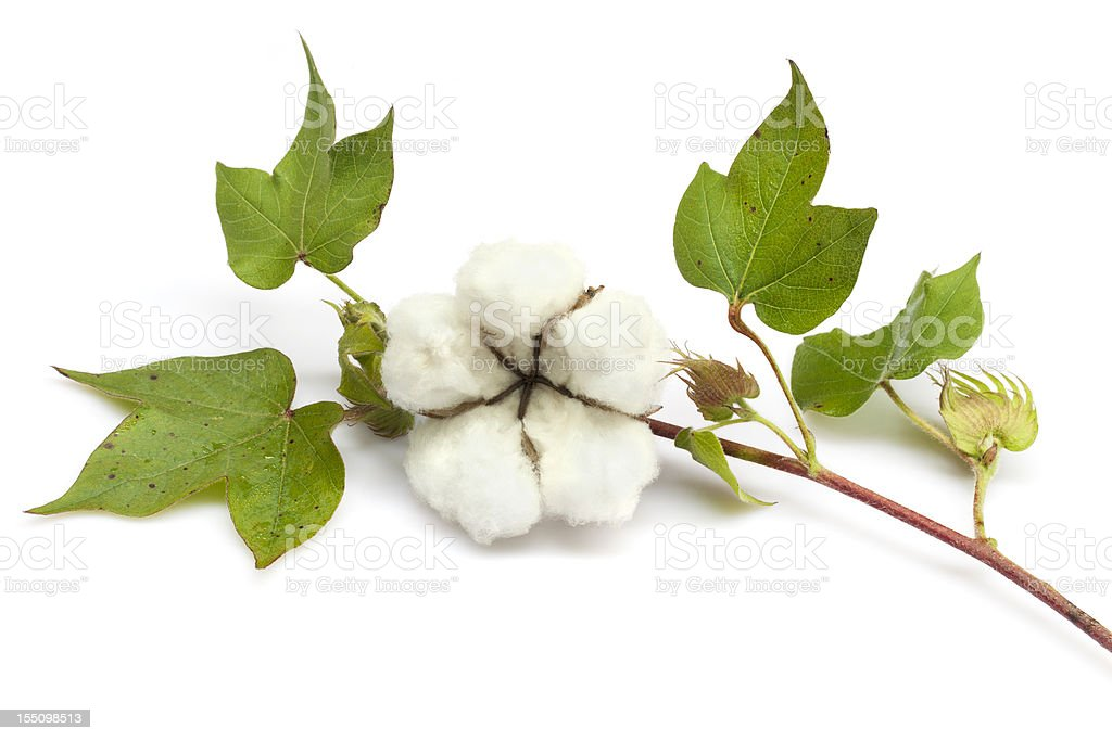 Cotton stock photo