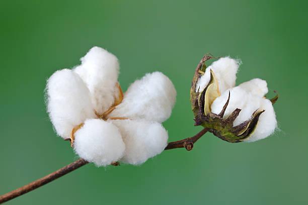 cotton - cotton growing bildbanksfoton och bilder
