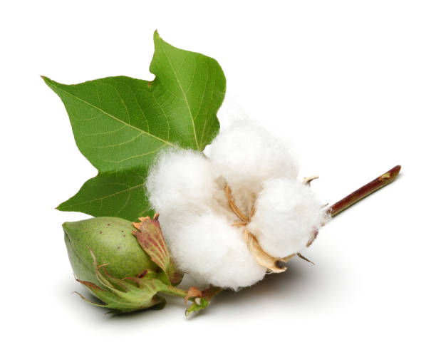 Cotton plant and green cotton boll with leaf isolated Cotton plant and green cotton boll with leaf isolated on white background cotton stock pictures, royalty-free photos & images