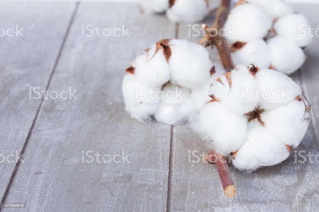 Cotton plant bud stock photo