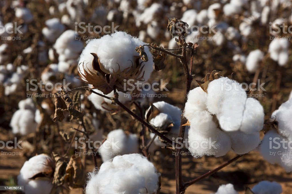 Cotton Plant Close-up royalty-free stock photo