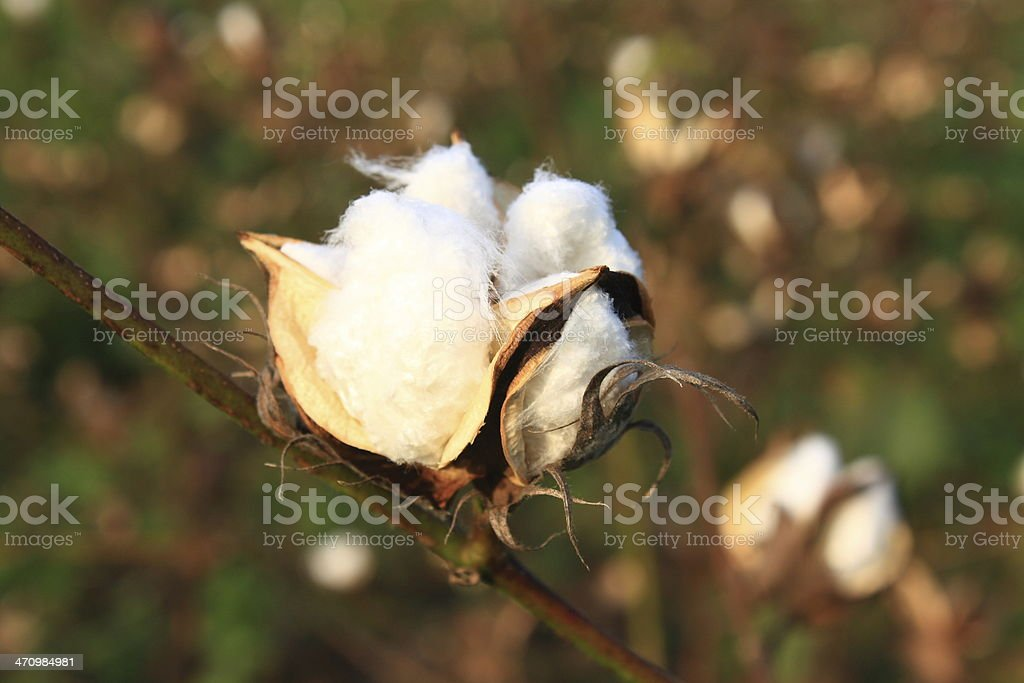 Cotton plant closeup stock photo