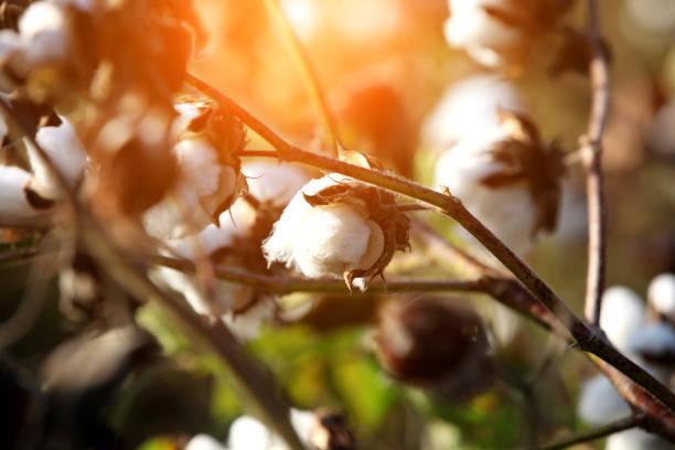 bomullsväxten under sunrise - cotton growing bildbanksfoton och bilder