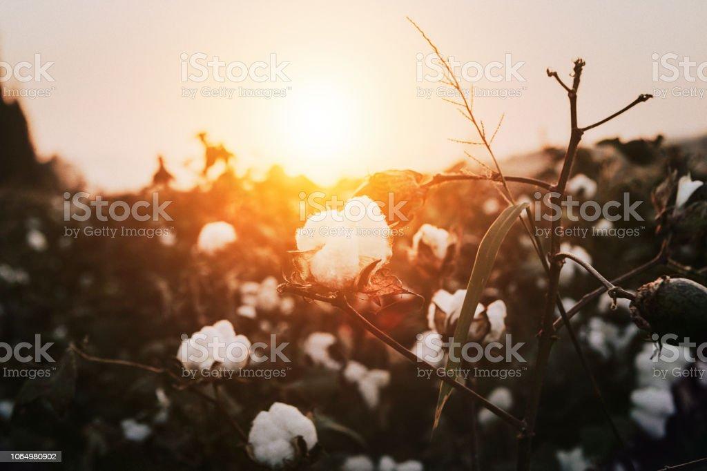 日落時的棉花植物 - 免版稅化妝棉球圖庫照片