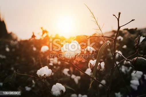 Cotton plant during sunset