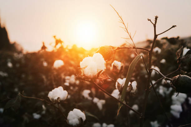 Cotton plant during sunset Cotton plant during sunset cotton stock pictures, royalty-free photos & images