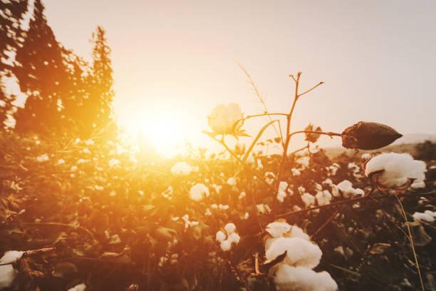 Baumwollpflanze während des Sonnenuntergangs – Foto