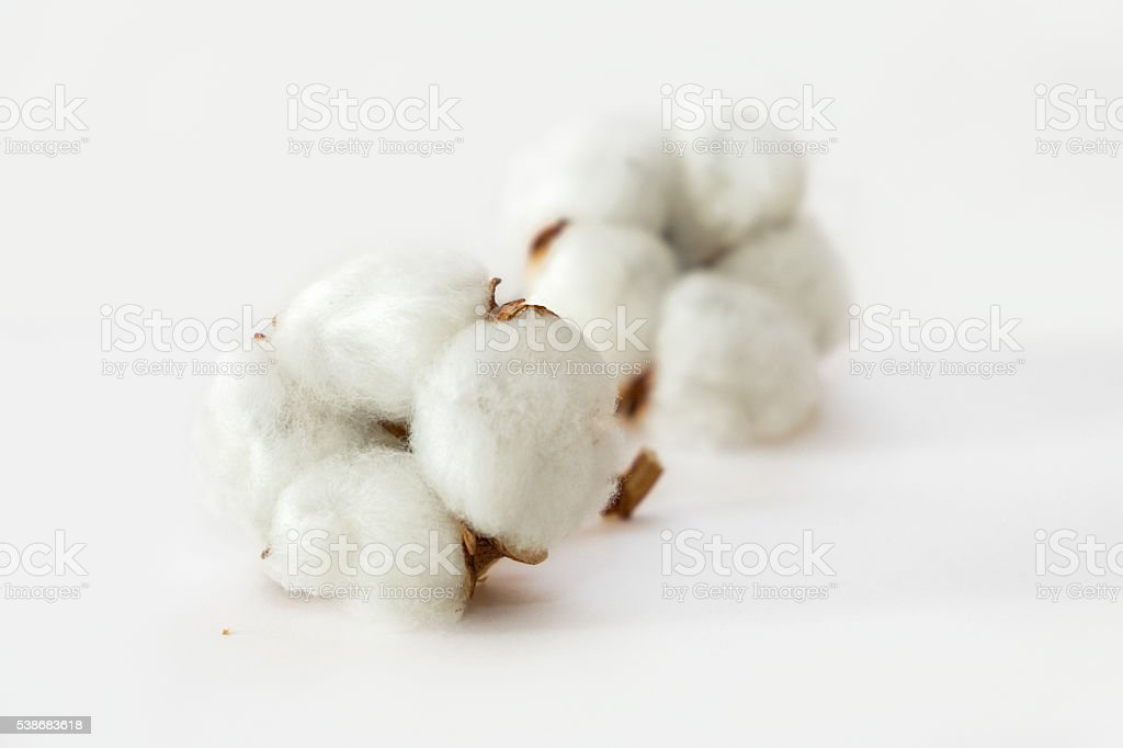Cotton plant flower stock photo