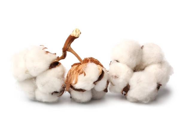 bomull växt blomma - cotton growing bildbanksfoton och bilder