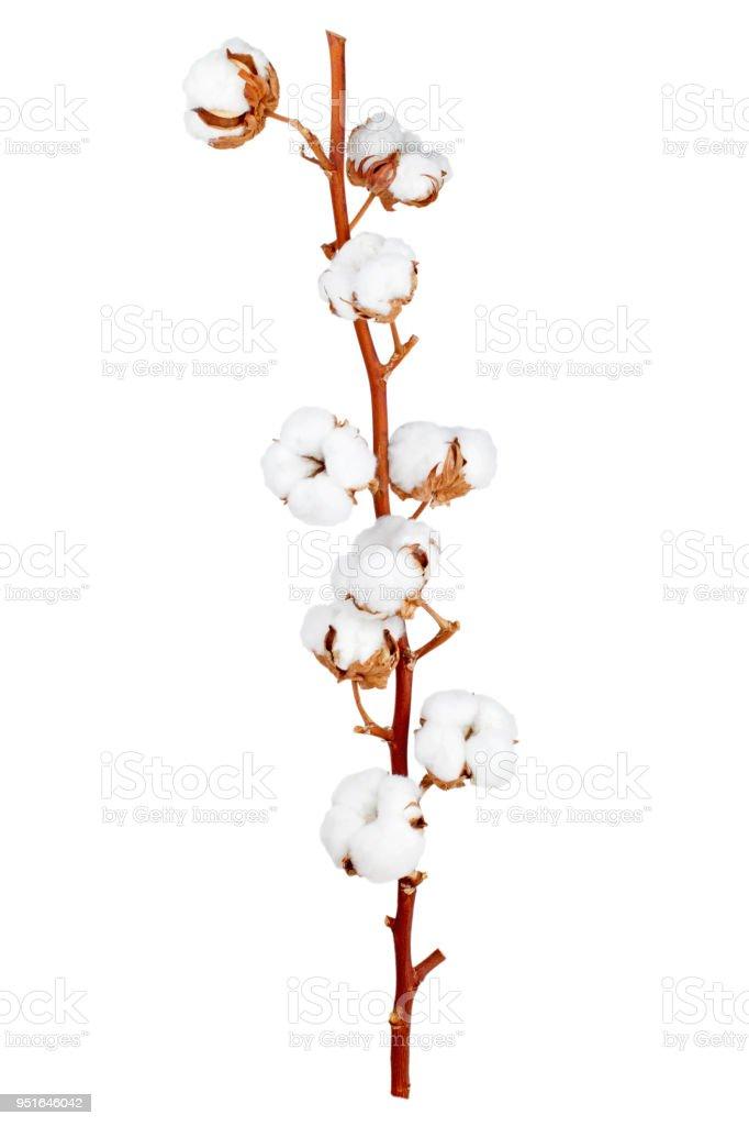 棉花植物花 - 免版稅一個物體圖庫照片