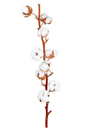 棉花植物花 照片檔及更多 一個物體 照片