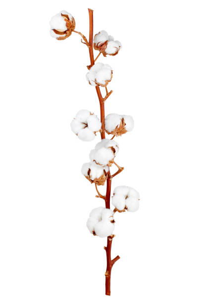 Cotton plant flower Branch of cotton plant isolated on white background as package design elements cotton stock pictures, royalty-free photos & images