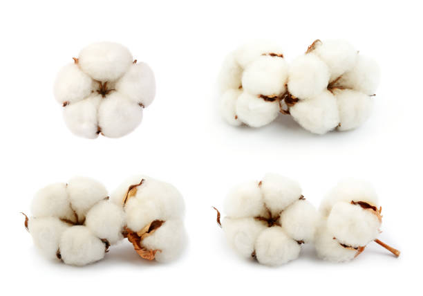 Cotton plant  flowers Cotton plant  flowers isolated on the white background cotton stock pictures, royalty-free photos & images
