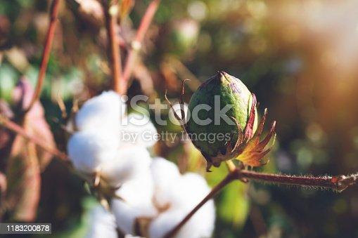 Cotton Plant, Cotton, Textile, Flower, Plant