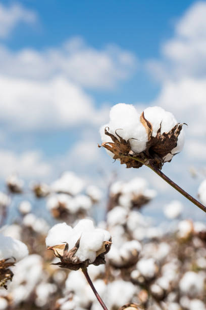 Cotton Plant in a Louisiana Field Cotton plant in a Louisiana field cotton stock pictures, royalty-free photos & images