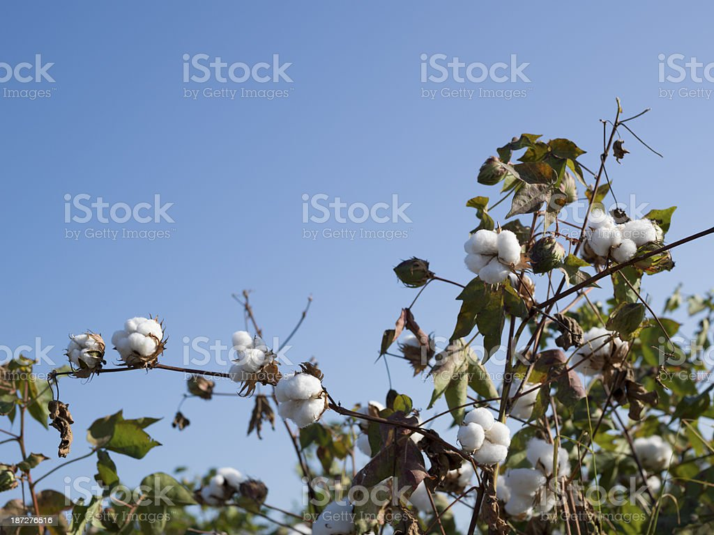 Cotton plant on clear blue sky royalty-free stock photo