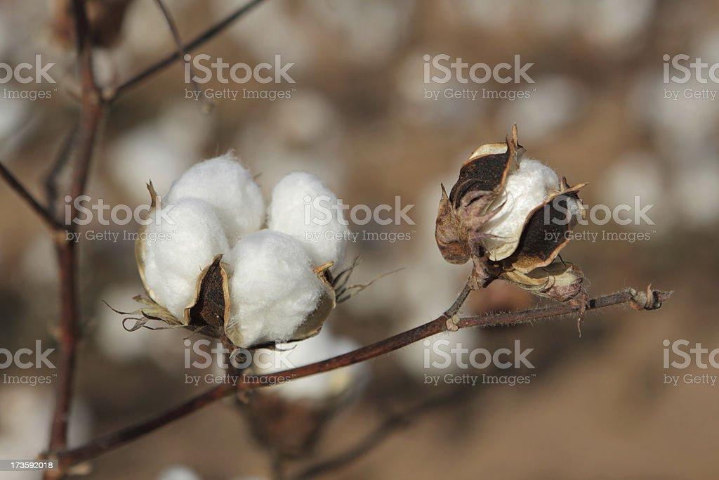 Cotton plant, Texas royalty-free stock photo
