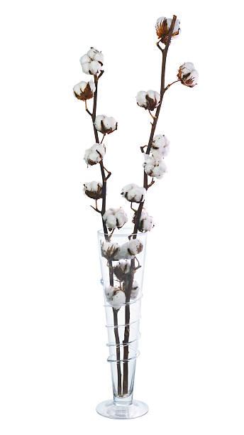 cotton plant with bolls in vase isolated on white background. - cotton growing bildbanksfoton och bilder